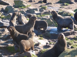 fur seals crowded the beaches
