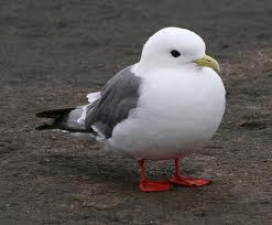 red legged kittiwake