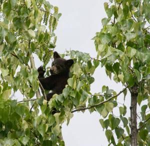 cub tree