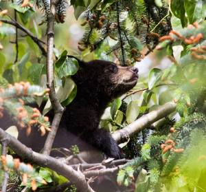 cub tree2